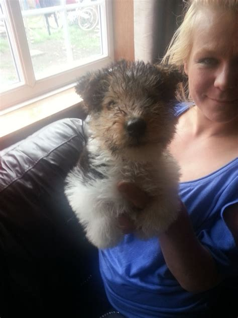 fox puppies for sale wirehaired fox terrier with molly a wirehaired fox terrier puppy breeds picture