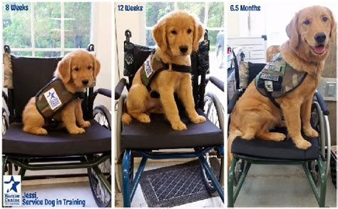 service puppy puppycam shows service for disabled veterans