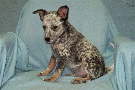 miniature blue heeler puppies for sale near me miniature blue heeler puppies for sale breeds picture
