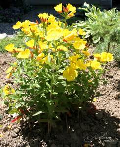 colorful perennials 15 colorful perennials for shade northern nester