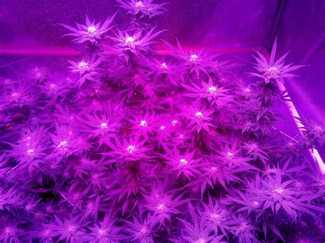 flowering cannabis with led lights kind k5 xl1000 led grow journal 1 3 lb harvest grow