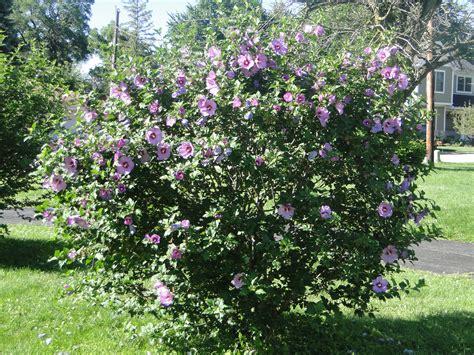 althea plant hibiscus syriacus minerva of althea shrub botany austinbotany a fascinating