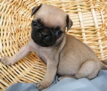 pedigree pug puppies for sale free classified listings in usa