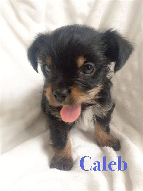haired chorkie 3 fluffy chorkie puppies for sale coventry west