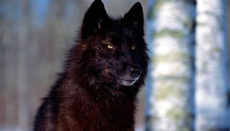 imagenes lobo negro lobos negros im 225 genes y fotos