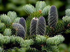 zen garden 27 photos home decor 11401 pines blvd goldilocks japanese white pine 2m high wide long blue