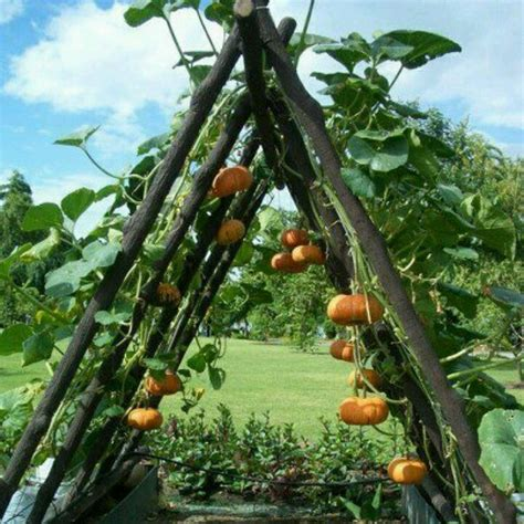 Growing Pumpkins On A Trellis growing pumpkins on a trellis to develop color and shape yard garden