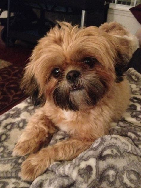 how to cut hair on a shihpoo 279 best shih poo shih tzu images on pinterest baby shih