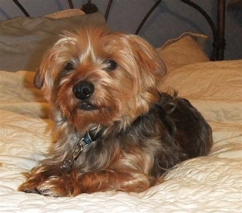 Short Haired Dorkie Mixes | generous wire haired terrier yorkie mix images