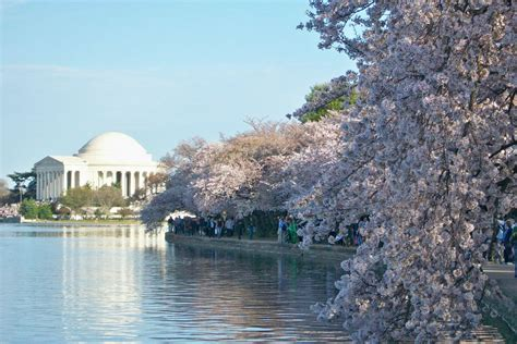 cherry blossom festival dc spring vacation idea flower festivals worth traveling for