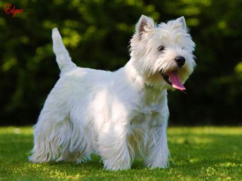 West Highland White Terrier Shedding by White Terrier On A Selection Of The Best Ideas