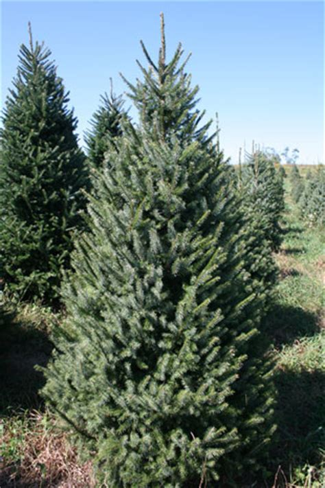 choose and cut christmas tree farm near greensboro north