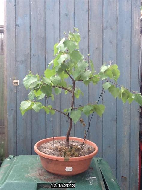 Alba 033 White Silver 71 best bonsai betula images on bonsai trees