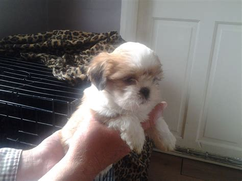 lhasa apso cross shih tzu for sale for sale 5 shih tzu cross lhasa apso middlesbrough pets4homes