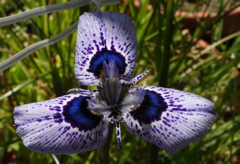 cool small plants to grow growing cool plants moraea hybrids