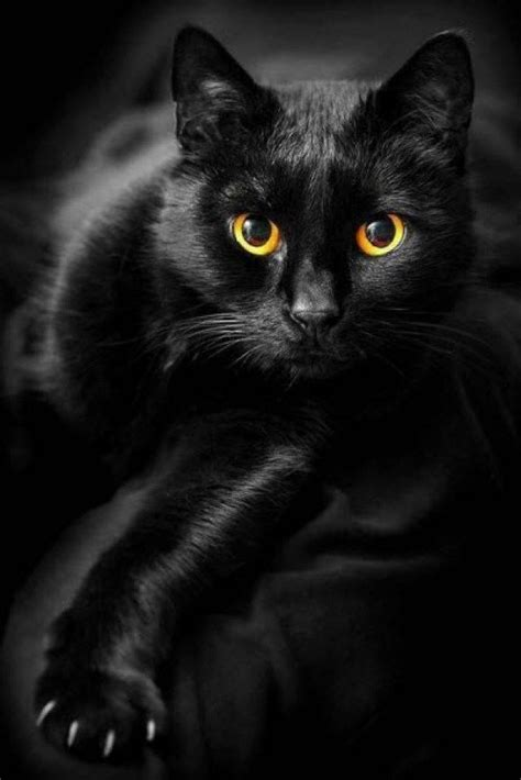 black cat 17 best ideas about black cats on pinterest black kittens cats and kitty cats