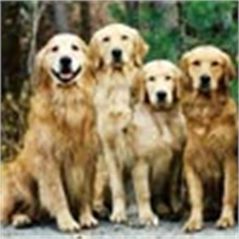 golden retriever puppies boise idaho golden retrievers breeders idaho golden retriever puppies idaho sherwood golden