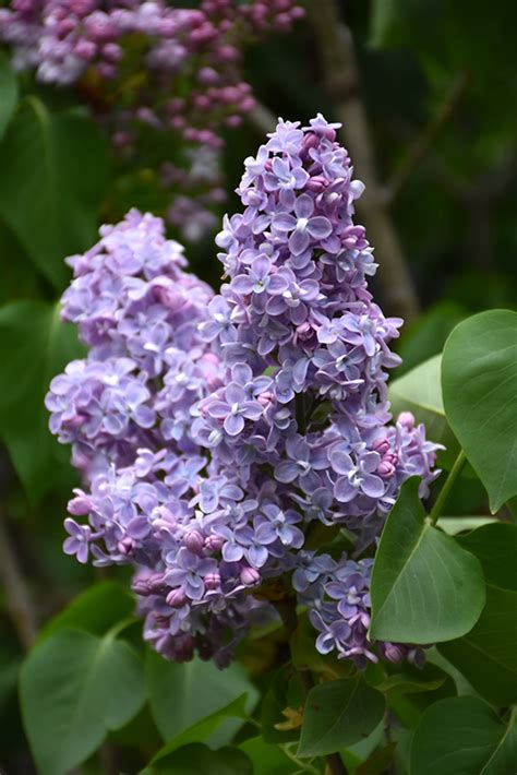 president grevy lilac syringa vulgaris president grevy