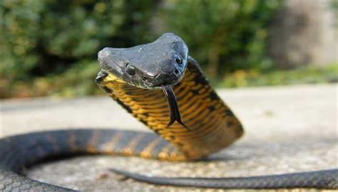 film ular vs harimau 10 hewan paling berbahaya dan mematikan di australia