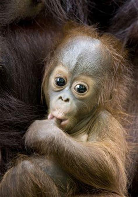 comfort sucking 17 best ideas about orangutans on pinterest baby