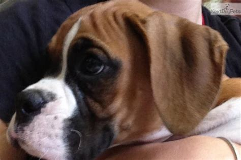 akc boxer puppies for sale near me akc chion bloodline boxer flashy fawn puppy boxer puppy for sale near ocala