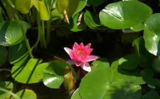 Lilly And Lotus Water Wallpaper