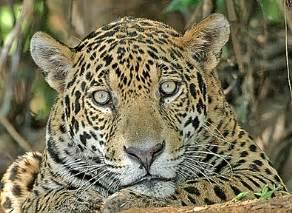 Jaguar Movement Birdquest The Ultimate In Birding Tours