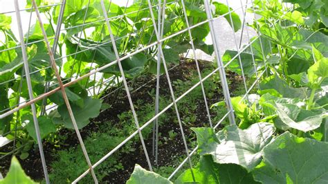 Cucumber Garden by Beetle Proof Cucumbers Gardener S Journal
