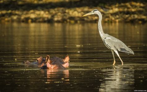 How To Float In Water While Standing by Heron Fools Photographer Who Thought It Was Floating On