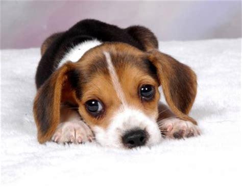 beagle in appartamento s not so secret diary rapporto ed educazione