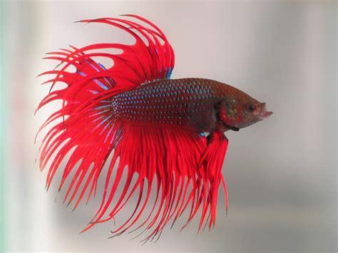 Cacing Untuk Ikan Cupang cara merawat ikan cupang hias untuk kontes