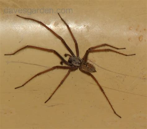 Garden Spider Vs Orb Weaver by Bug Pictures Hobo Spider Tegenaria Agrestis By
