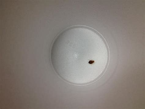 bed bugs philadelphia bed bug 1 picture of wyndham garden hotel