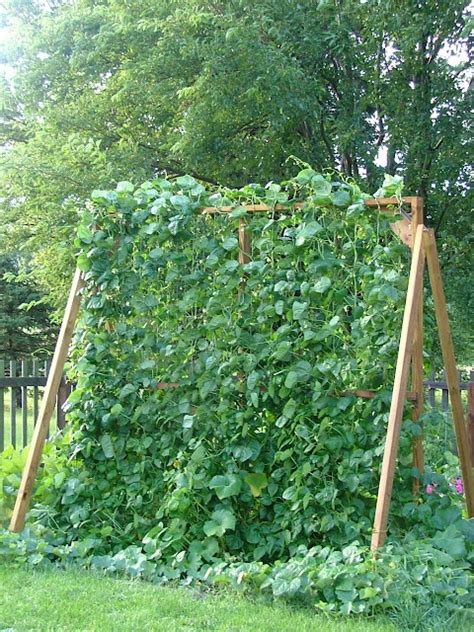 Pole Bean Trellis Height this could work for pole beans trellis climbing privacy walls and beans