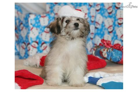 havanese puppies for sale preloved havanese puppy for sale near brainerd minnesota 6aa9db55 9ea1