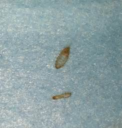 bedroom bugs tiny brown bugs in cabinets pictures to pin on pinterest