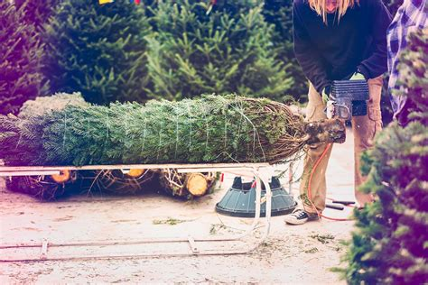 cut your own trees montgomey county maryland 3 farms to up your tree visit montgomery