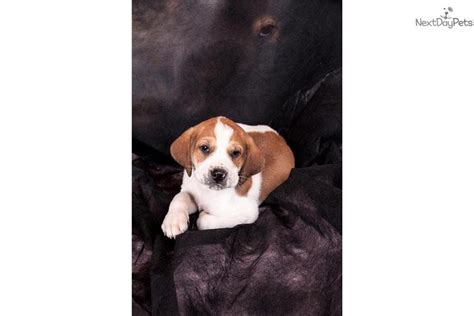 walker coonhound puppies treeing walker coonhound puppy for sale near st louis missouri 63ed0699 4771