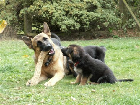 german shepherd dogs for sale quality german shepherd puppies for sale swindon wiltshire pets4homes