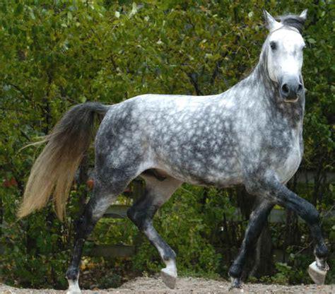 cavallo pomellato razze cavalli lusitano