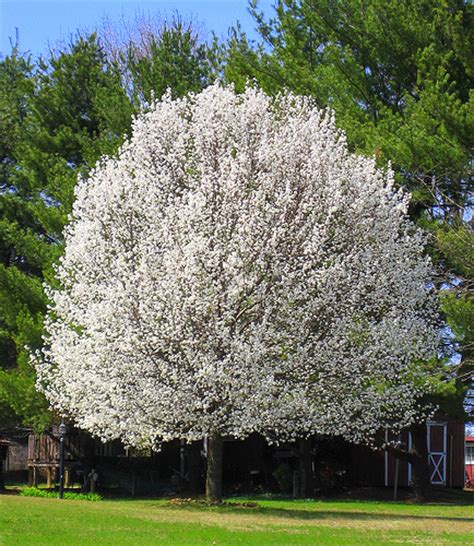 best flowering tree for front yard the edible front yard without your neighbors