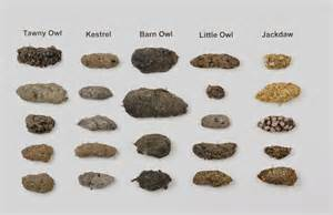 Barn Owl Pellets Facts Identification Guide