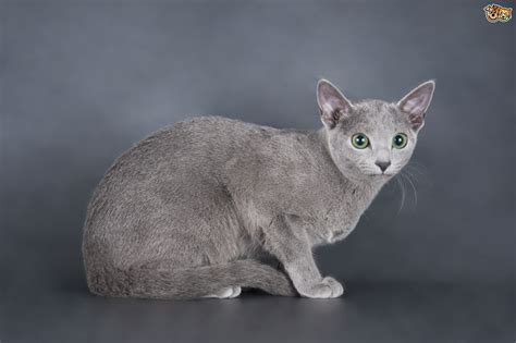 blue breeds hypoallergenic cat breeds russian blue images