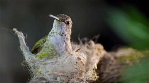 hummingbird builds tiny nest nature pbs