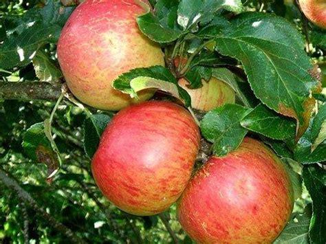 fruit trees buy buy fortune apple tree crj fruit trees nursery uk