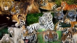 Tiger Cheetah Leopard Jaguar Panther Kaplan Leopar Predator Aslan Jaguar 231 Ita Y 252 Ksek