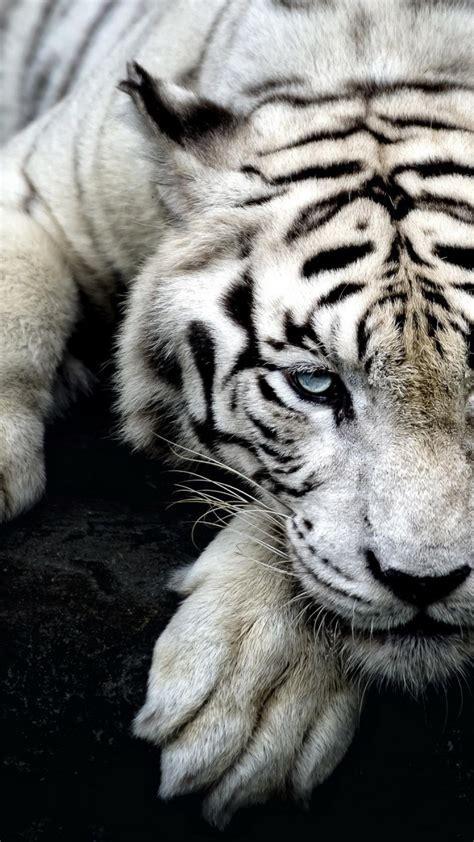 tigers iphone wallpaper supportive guru