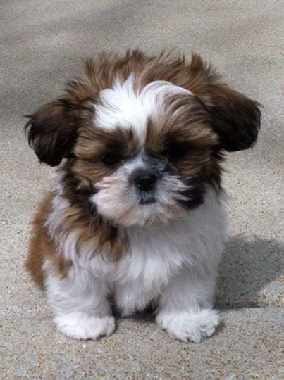 shih tzu preloved manchester shih tzu dogs and puppies rehome buy and sell in the uk and ireland