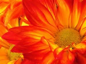 mums flowers how to grow mums hgtv