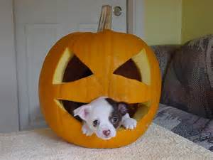 pumpkin and dogs puppy in a pumpkin dogs picture